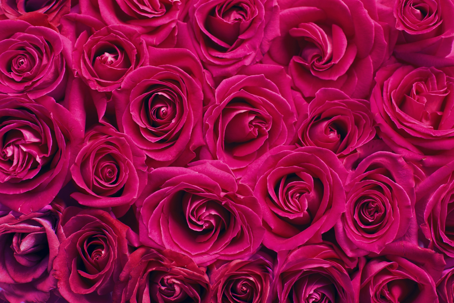 Wallpaper Full Color Hd Red Roses Background Free Stock Photo Public Domain Pictures