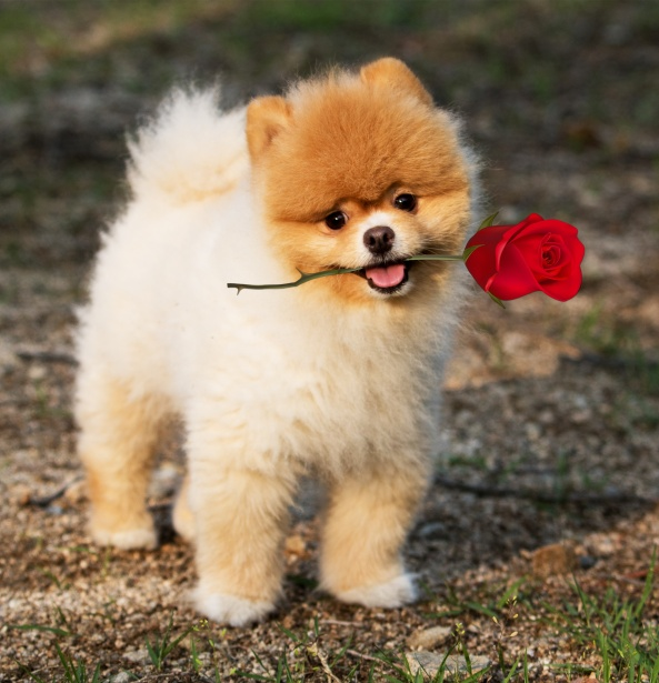 Cute Puppy Images Wallpaper Fluffy Dog Pomeranian Rose Mouth Free Stock Photo Public Domain