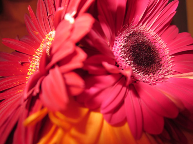 Hd 3d Wallpapers For Computer Red Gerberas Free Stock Photo Public Domain Pictures