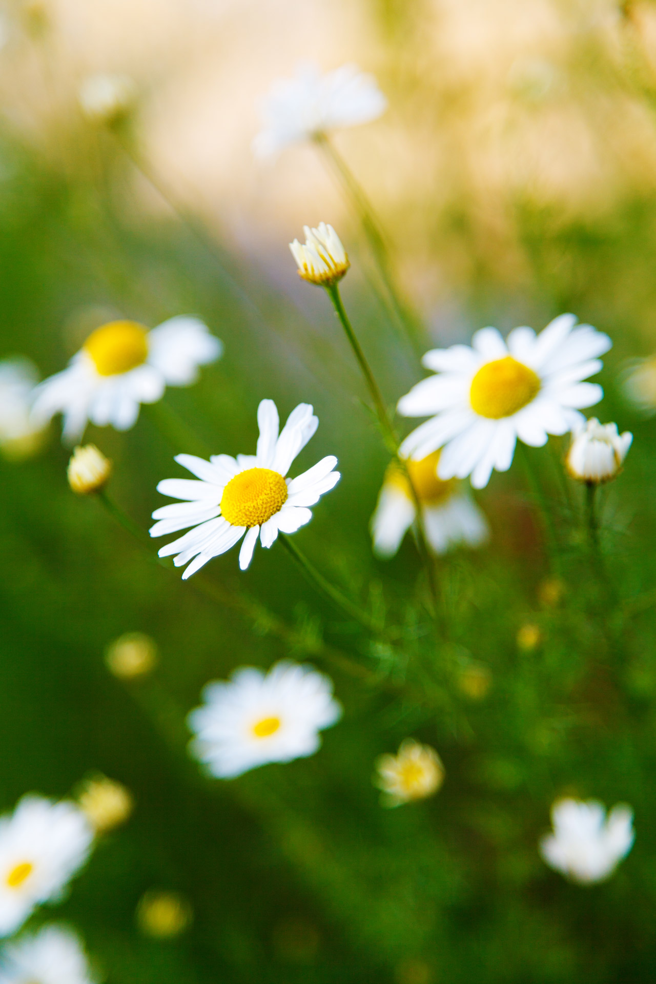 Summer Wallpaper Hd Chamomile Flowers Free Stock Photo Public Domain Pictures