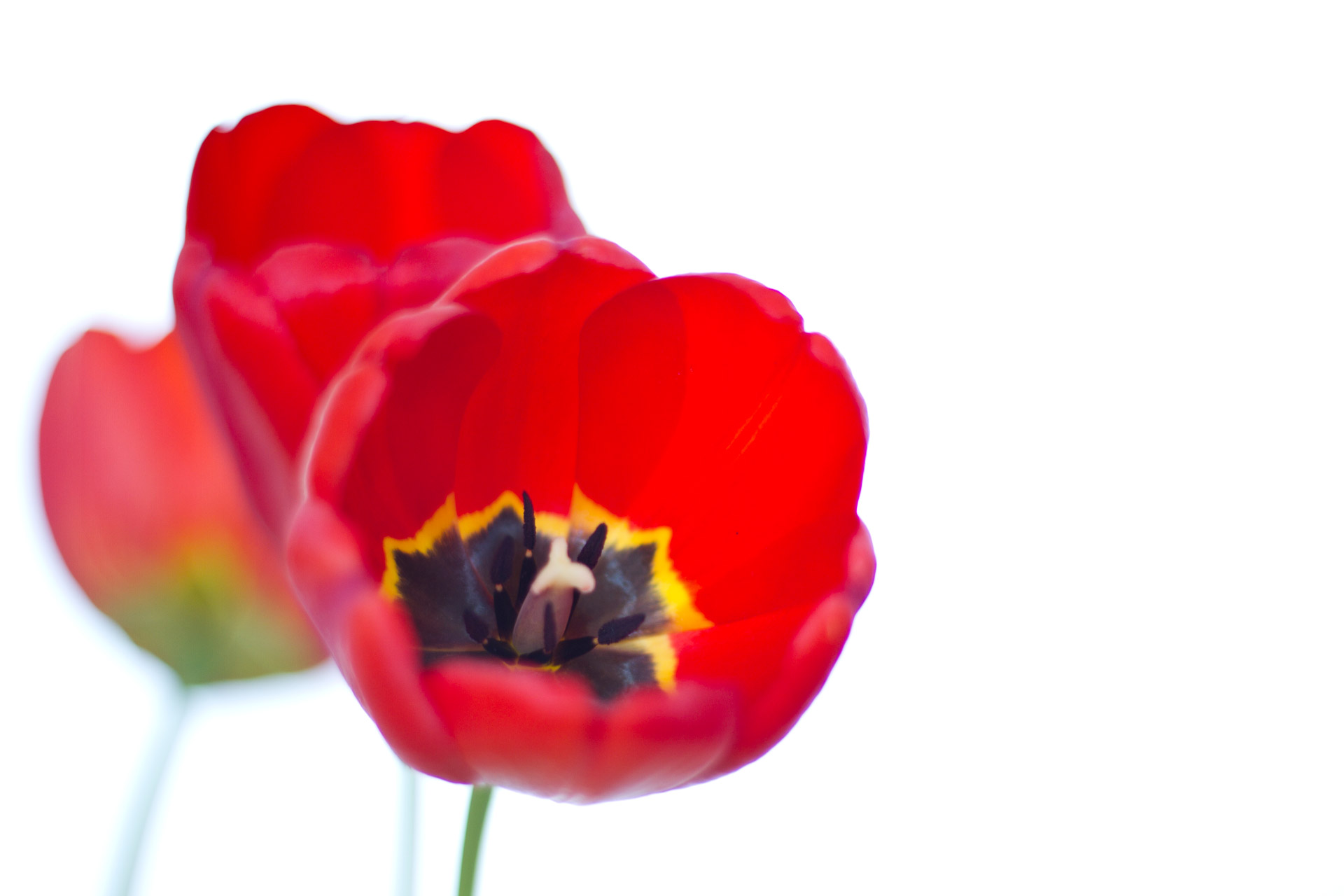 Cute Wallpapers For Summer Red Tulips Free Stock Photo Public Domain Pictures