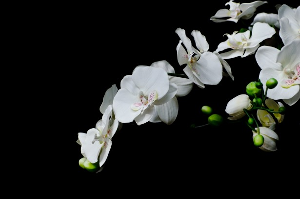 Wallpaper Hd 3d Black And White 白い花 蘭 無料画像 Public Domain Pictures