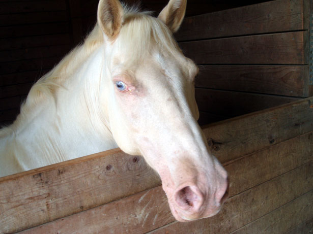 Animal Wallpaper Download White Horse Face Free Stock Photo Public Domain Pictures