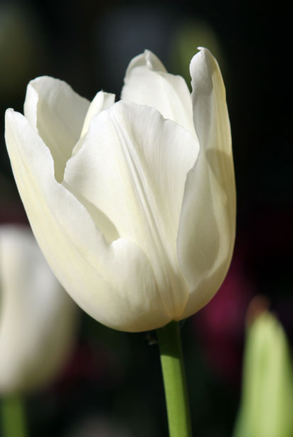 Shutterstock Hd Wallpapers White Tulip Flower Free Stock Photo Public Domain Pictures