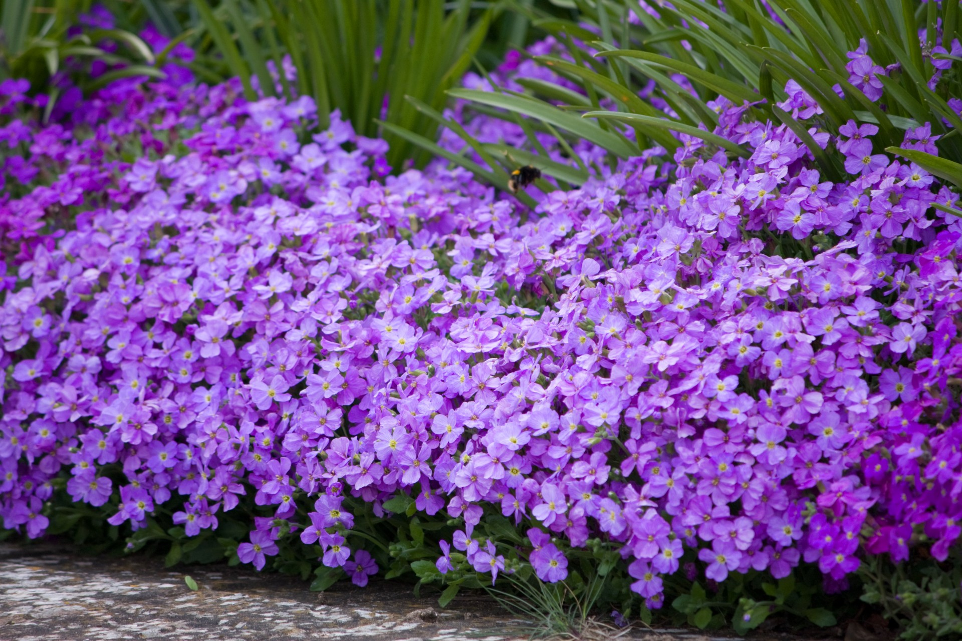 Free Fall Mums Wallpaper Purple Flowers Free Stock Photo Public Domain Pictures
