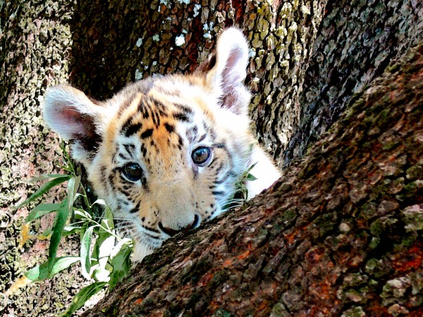 Cute Tiger Cubs Hd Wallpapers Painting Of Tiger Cub Hiding Free Stock Photo Public