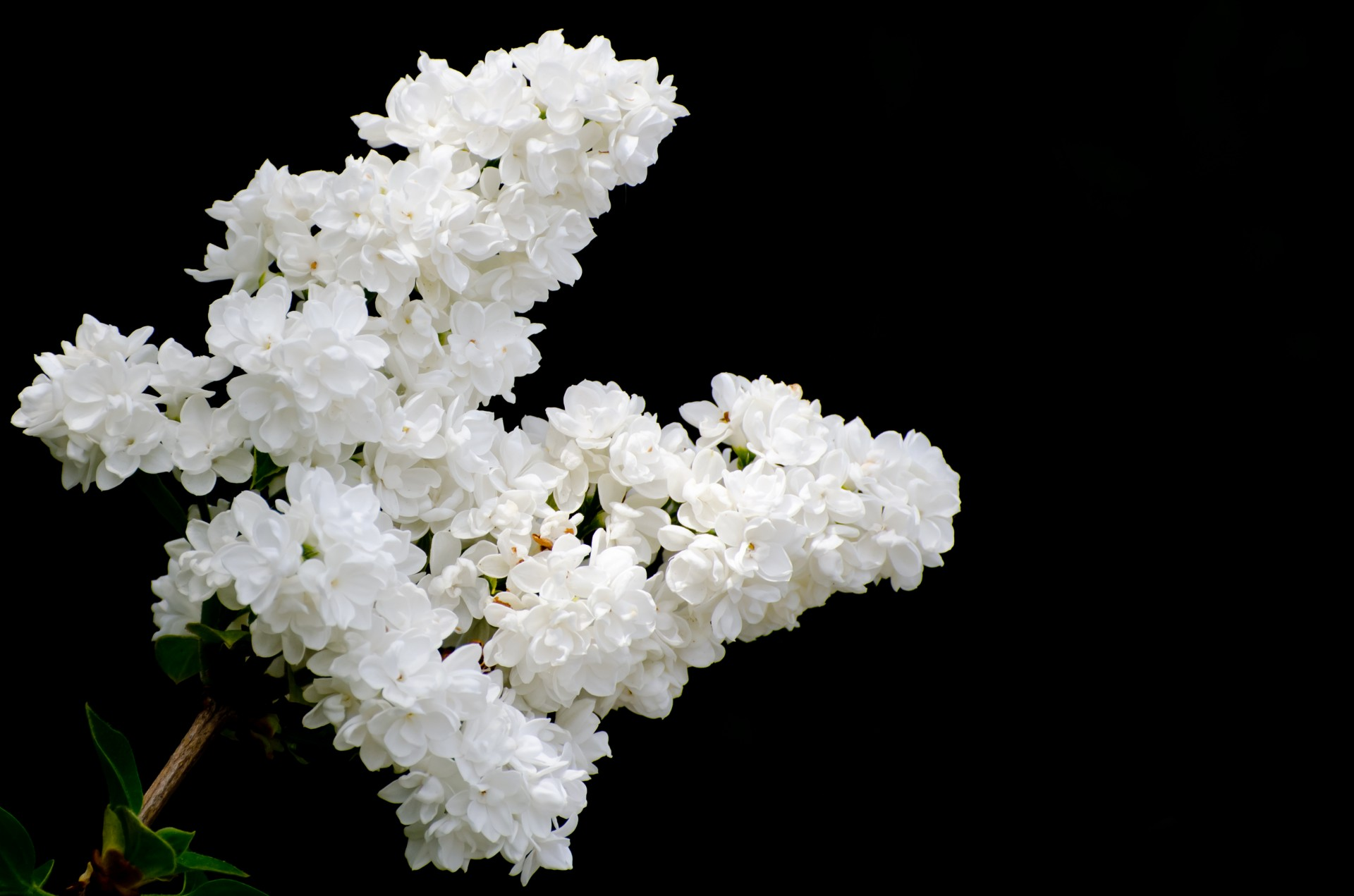 Black And Purple Wallpaper The Branch Of A White Lilac Free Stock Photo Public