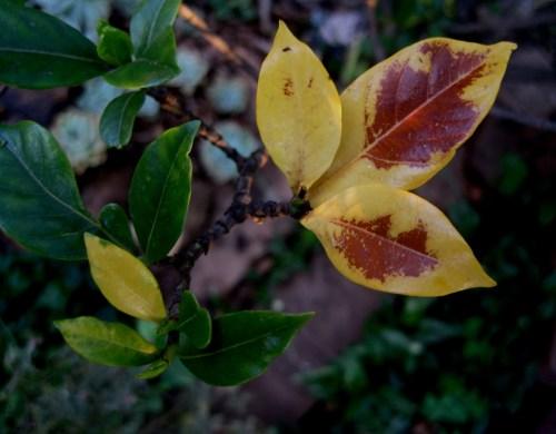 Medium Of Gardenia Yellow Leaves