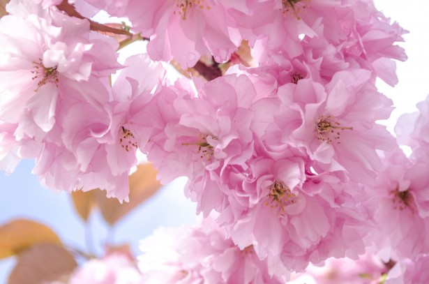 Pink Full Hd Wallpaper Pink Blossom Flowers On A Branch Free Stock Photo Public