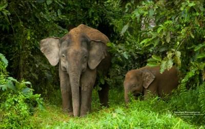 Free Pygmy Elephant Wallpaper - Sebastian Kennerknecht PhotographySebastian Kennerknecht Photography