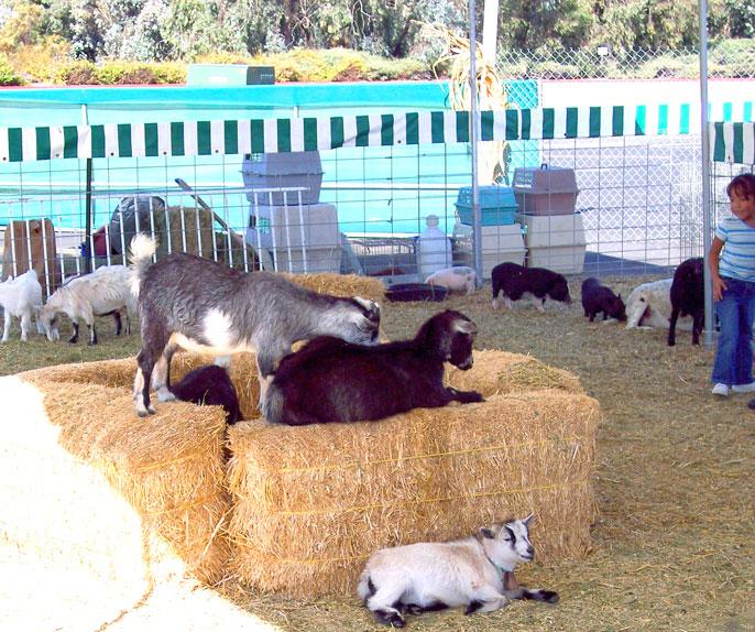 PS-pettingZoo-goats