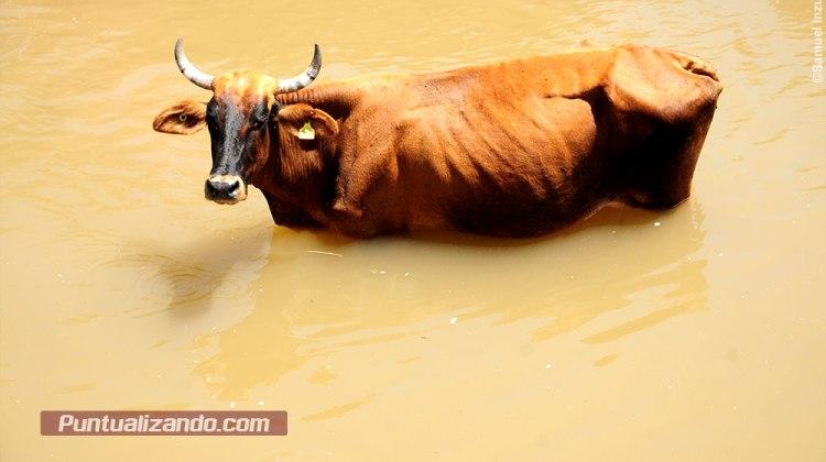 Sequia, ganado, canal, vacas, agua
