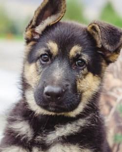 Small Of Female German Shepherd