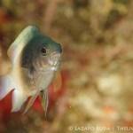 bicolor damselfish: Stegastes partitus