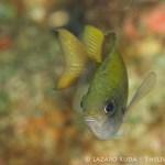 sunshinefish: Chromis insolata
