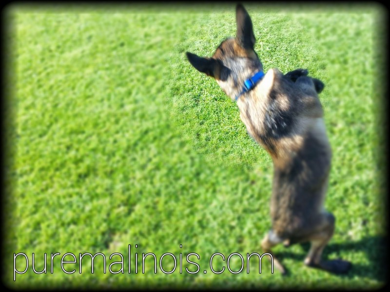 Belgian Malinois Breeders in Oregon