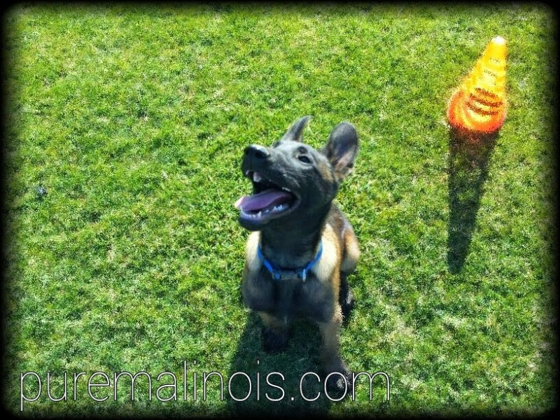 Belgian Malinois Breeders in Seattle Washington State