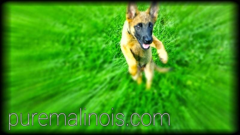 Belgian Malinois Puppies for Sale in Portland Oregon