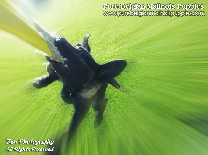 San Francisco Bay Area Belgian Malinois Breeders
