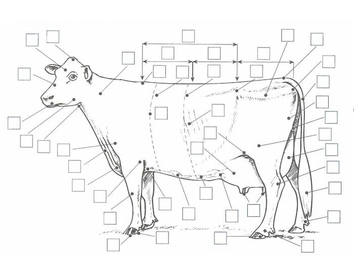 dairy cow diagram