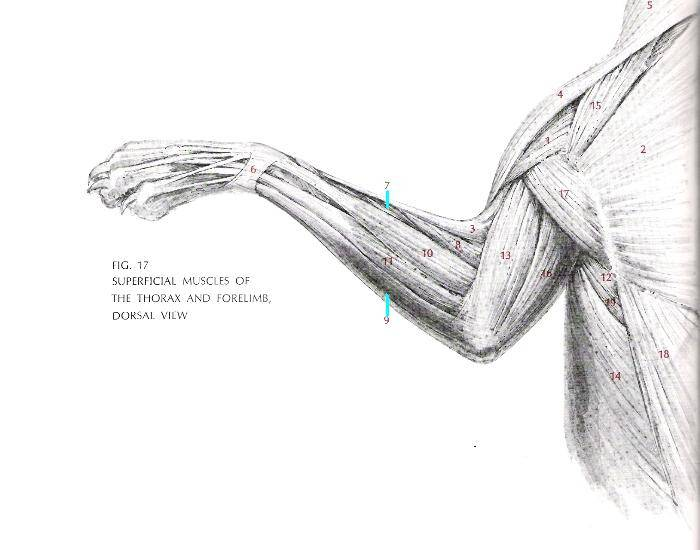 muscles labeled diagram