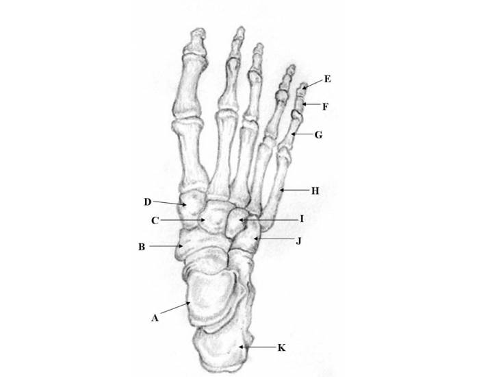 foot bone diagram unlabled