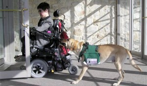 Dog opens door for wheelchair user