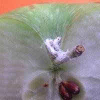 Investigación de FDF sobre Chanchito Blanco ayudará a reducir los rechazos de la fruta chilena