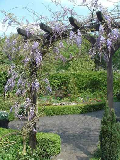 Pruning Wisteria