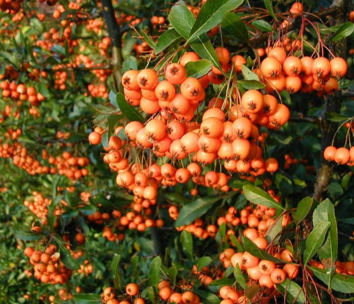 Pyracantha Golden charmer evergreen shrub with white flowers and orange berries