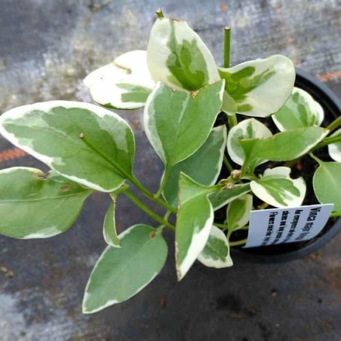 vinca variegata