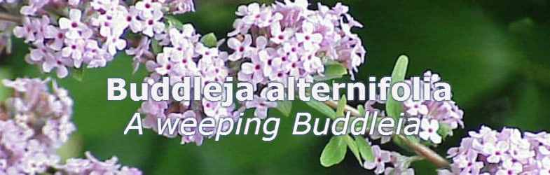 Buddleia alternifolia – Growing tips, pruning and care