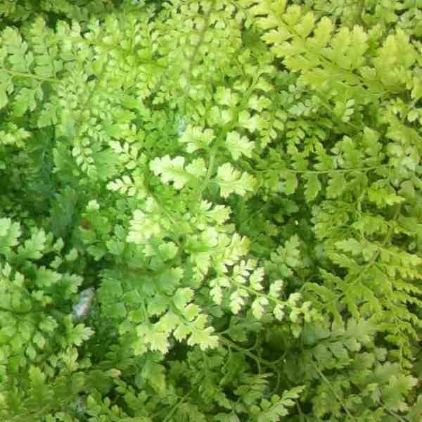 polystichum setiferum herrenhausen fern ideal for dry shady areas.