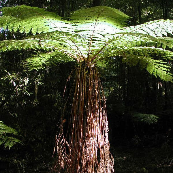 Tree fern plant that is ideal for partial or dense shade in moist conditions