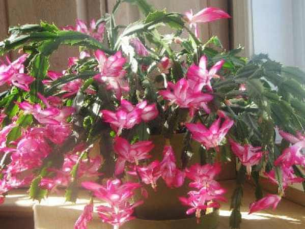 repotting christmas cactus, how and when to re-pot. Repot after flowering into a slightly large pot
