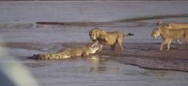 بالفيديو : معركة بين ثلاث اسود و تمساح .. على لحم فيل