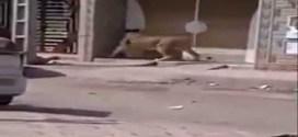 فيديو: لبؤة تهرب من سيرك وتتجول في مدينة مغربية !