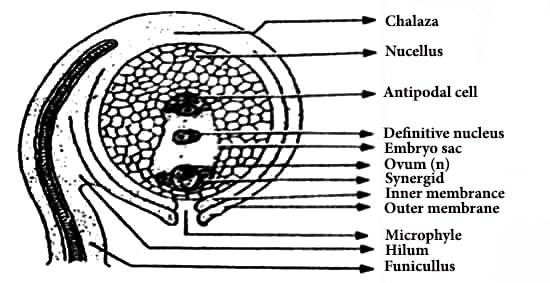 diagram of the hilum