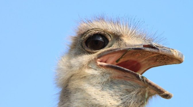 Ostrich-Head_Close-Up__85447