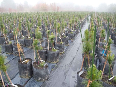 Gratuitous picture: 3000 trees leaning in a foggy Christchurch day (Photo: Luis).