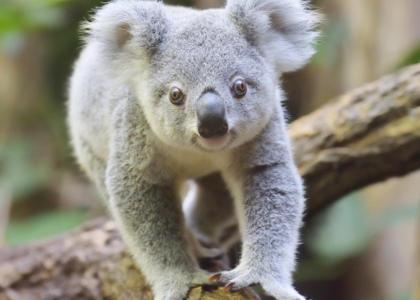 Cute Baby Feet Wallpaper 191 Qu 233 Comen Los Koalas Lee 201 Sto Y Lo Sabr 225 S