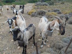 Chèvres grecques