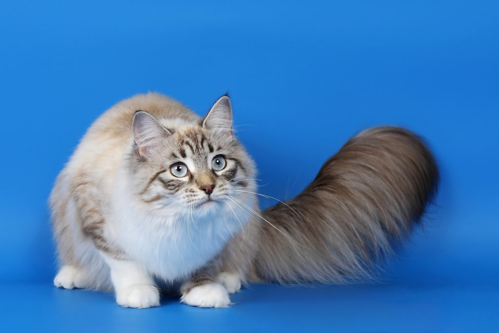 Cute White Kittens With Blue Eyes Wallpaper Top 10 Largest Cat Breeds In The World Quick Top Tens