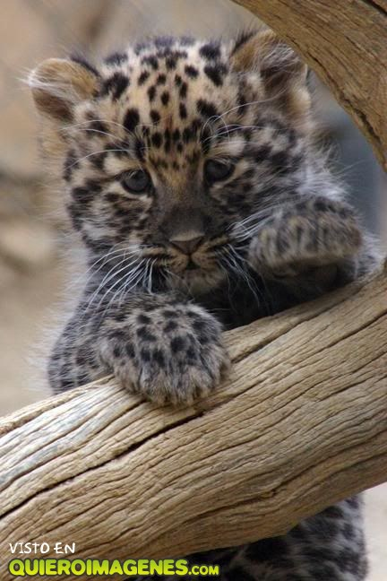 Cute Cubs Wallpaper Beb 233 Leopardo