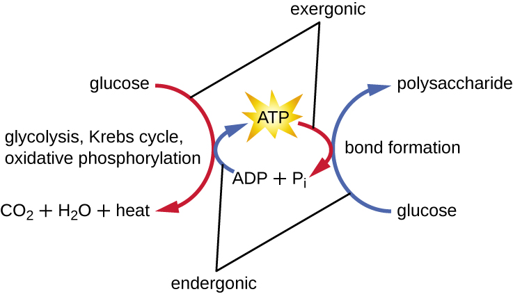 polypeptide bond diagram