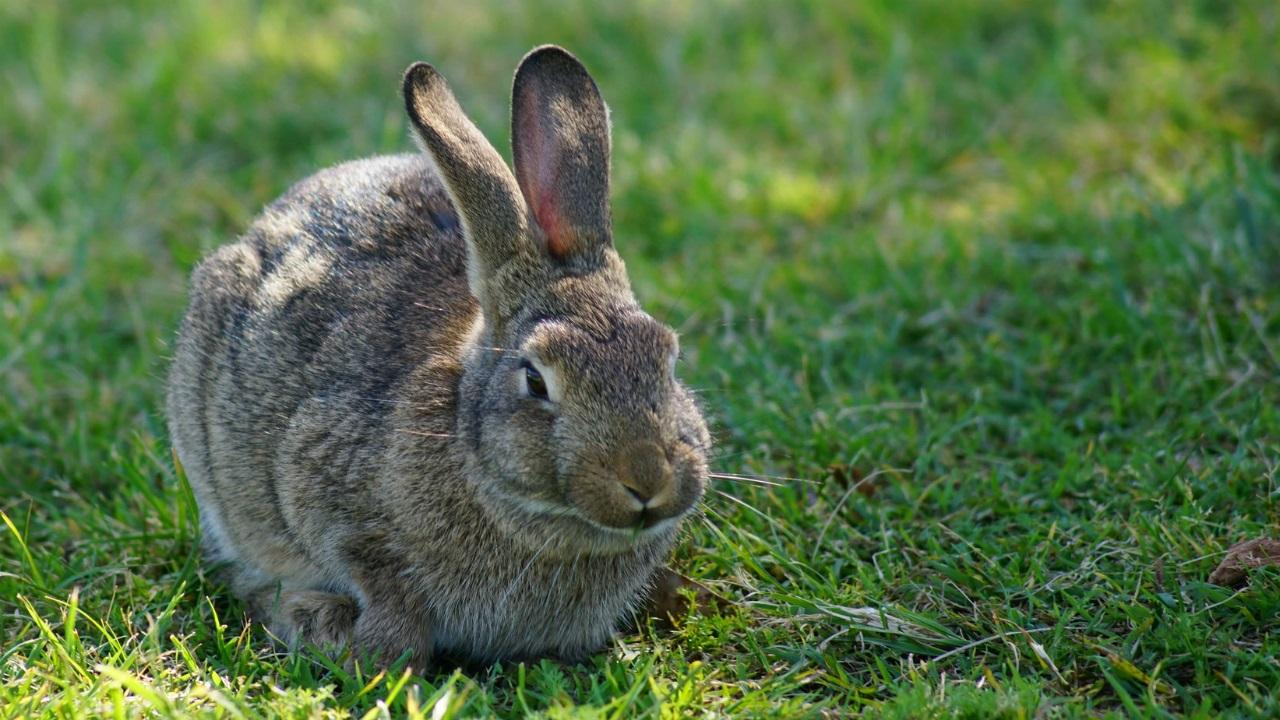 Cute Little Gray Cat For Wallpaper Do Rabbits Have Good Eyesight Amp What Color Can It See