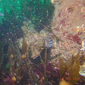 By August of 2007, a Cabezon has taken up a territory on the Tidal Energy Piling. Photo by Chris Blondeau.