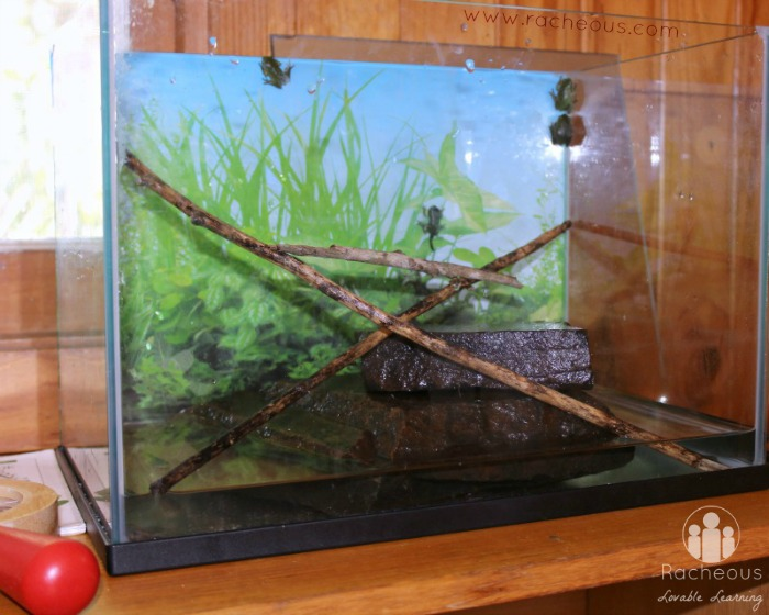 Froglet and frog tank set up homeschool