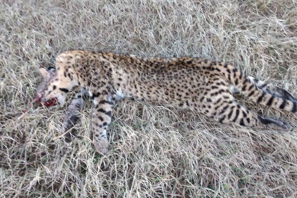 RN 34: un auto chocó a un yaguareté cerca de Susana