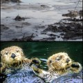 Top: Aftermath of a coal fly ash spill in Tennessee. Bottom: Otters covered in oil leftover from the Exxon Valdez spill.